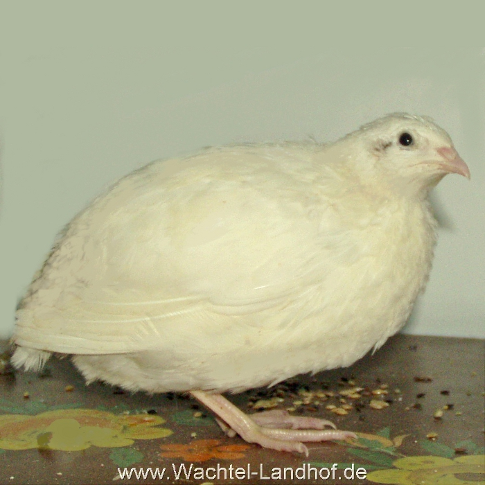 Weiß Henne